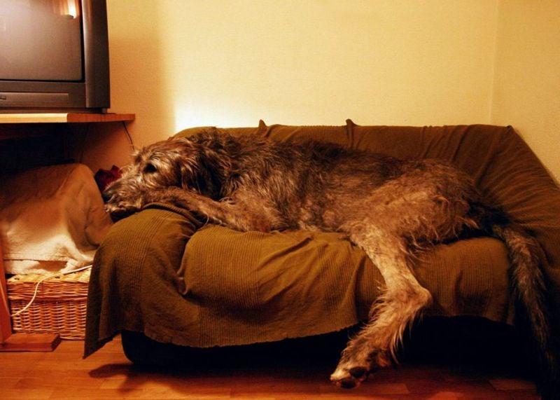 sensitive breed companion dog