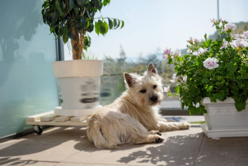 Many famous cairn terriers