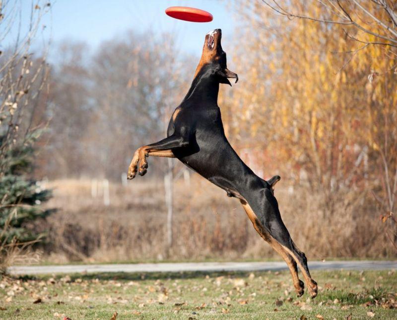 Powerful, Graceful Doberman Pinscher Dog Jumping High to Catch Frisbee