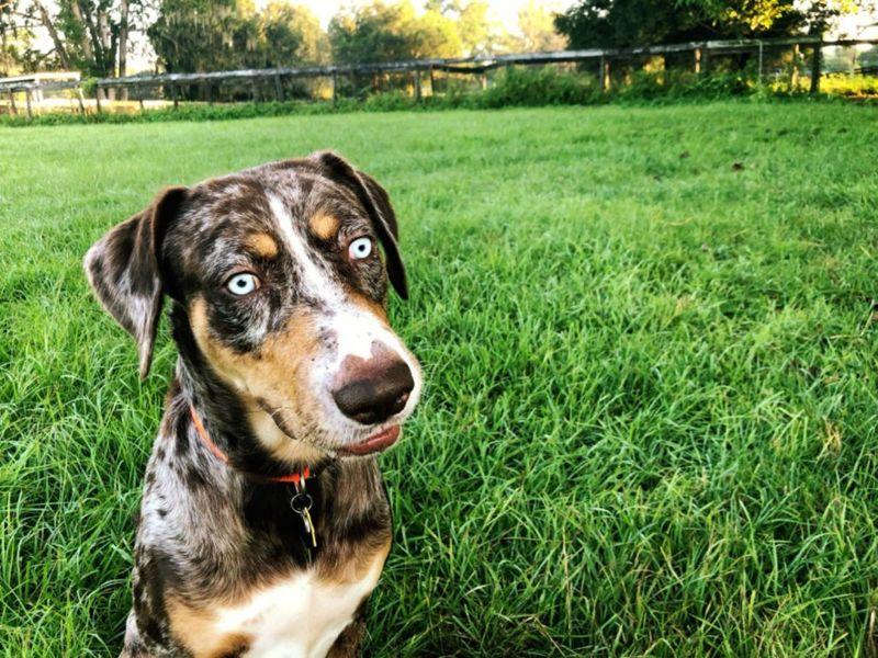 Blue eye eyed dog puppy catahoula