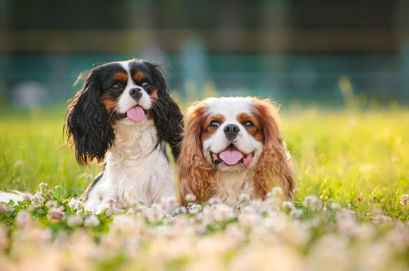 Two spaniels on a summer outing