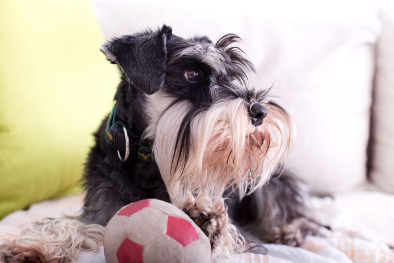Cute Miniature Schnauzer lying on sofa with ball and inviting to play