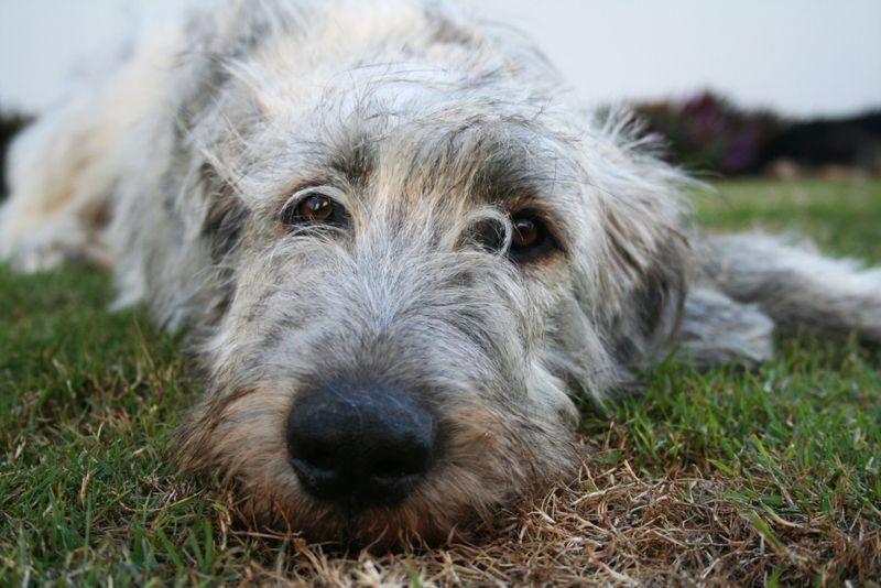 Not impressed, Irish Wolfhound