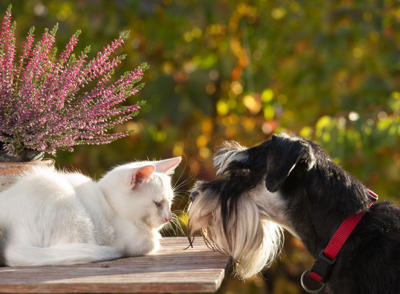 Cat and dog love. Little white kitty lying on table in garden and miniature schnauzer smelling her