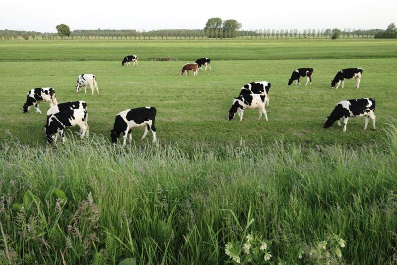 pasture raised cows livestock