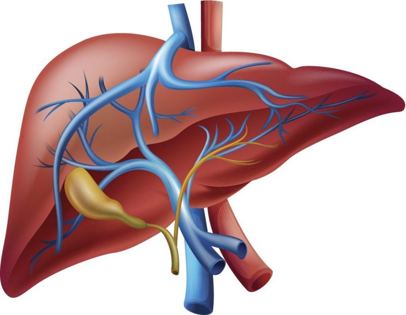 liver bile ducts biliary system