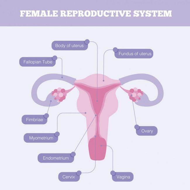 cervix reproductive system