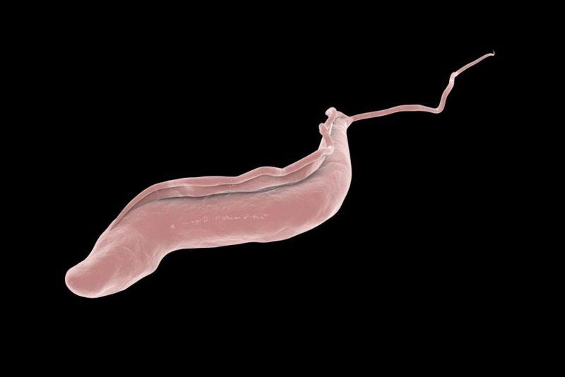 Gambiense rhodesiense Human protozoa