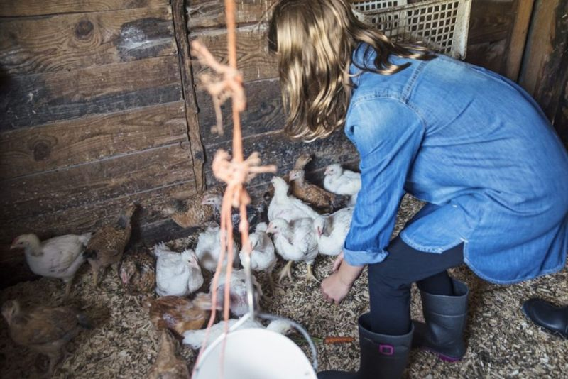 cage free chickens cage-free
