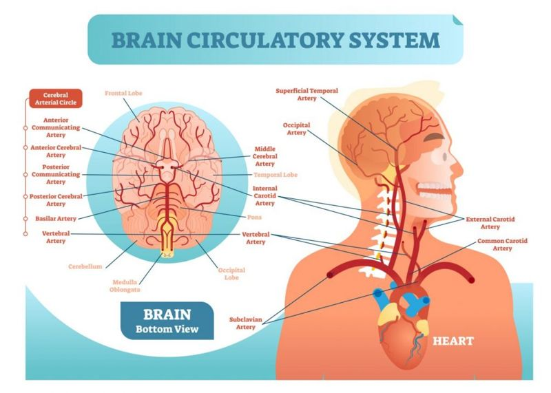 carotid arteries brain blood supply