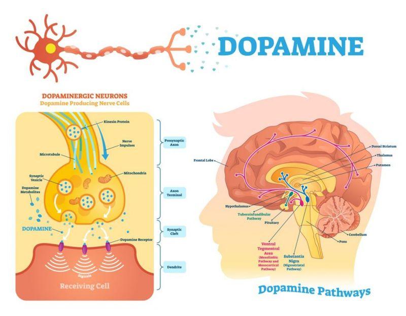 neuroleptic causes dopamine receptors medications