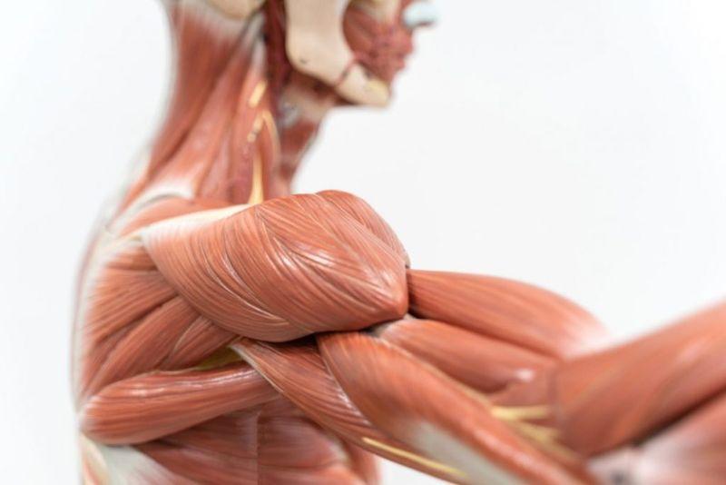 Muscle Insertion Origin
