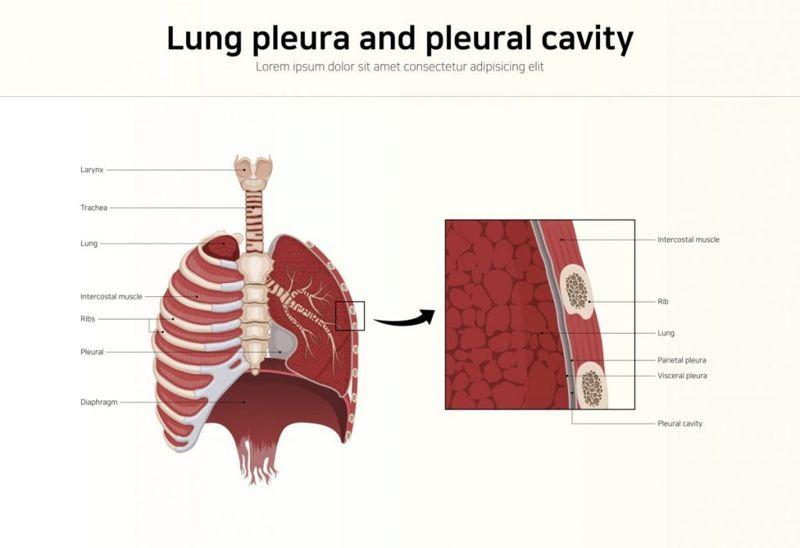Pleural Cavity Membranes