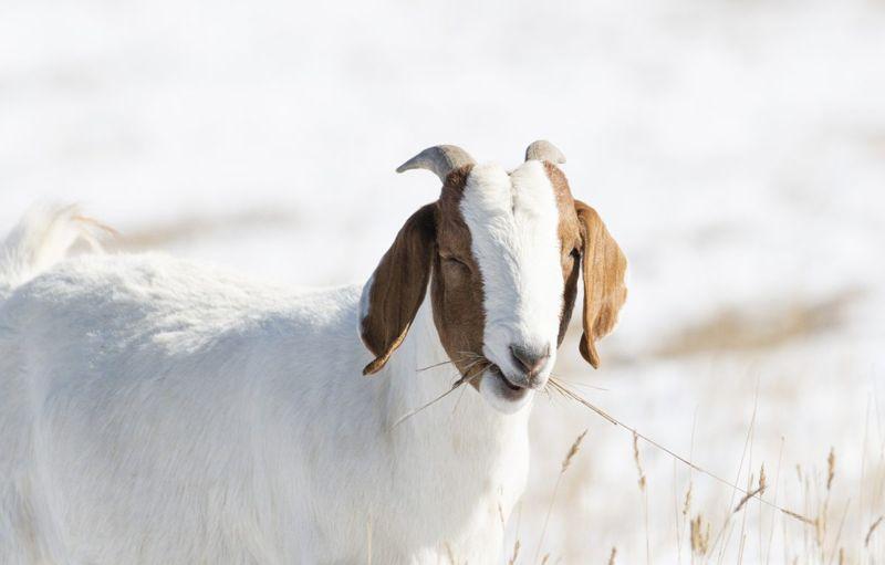 domesticated goat