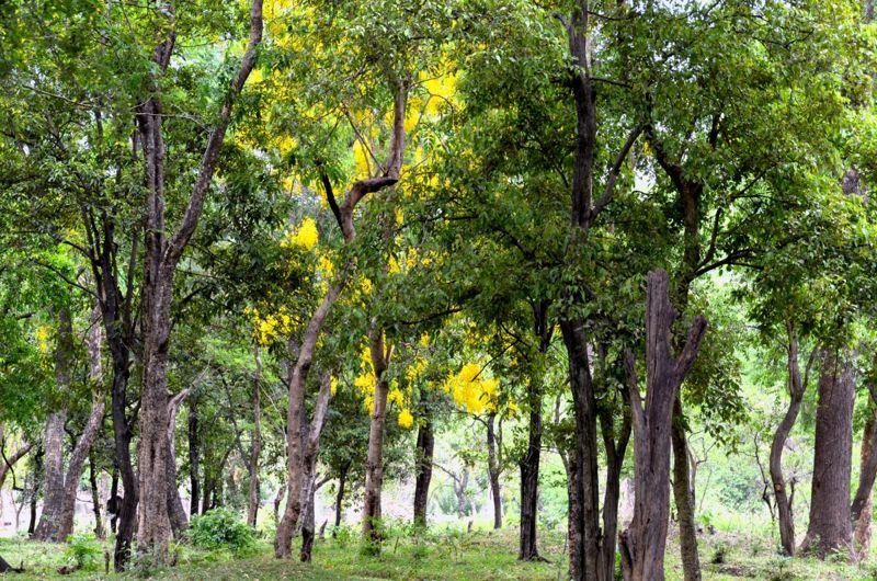 sandalwood forest