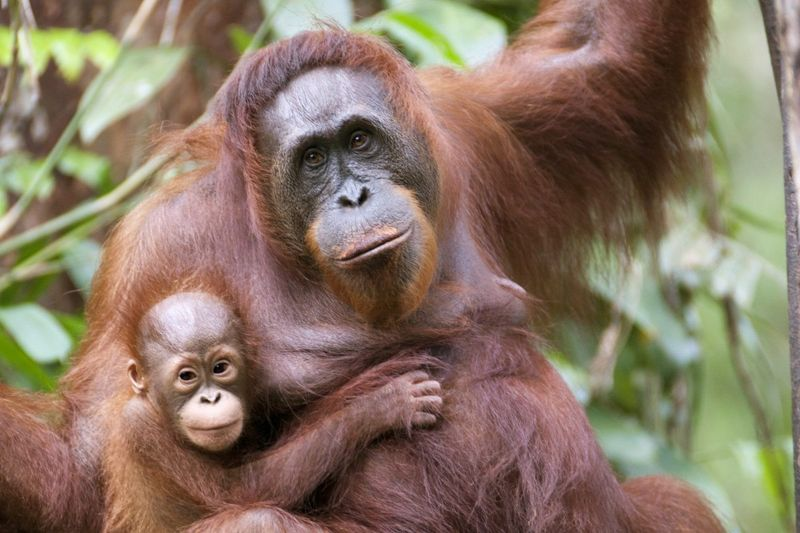 San Diego Zoo exhibits feature orangutans.