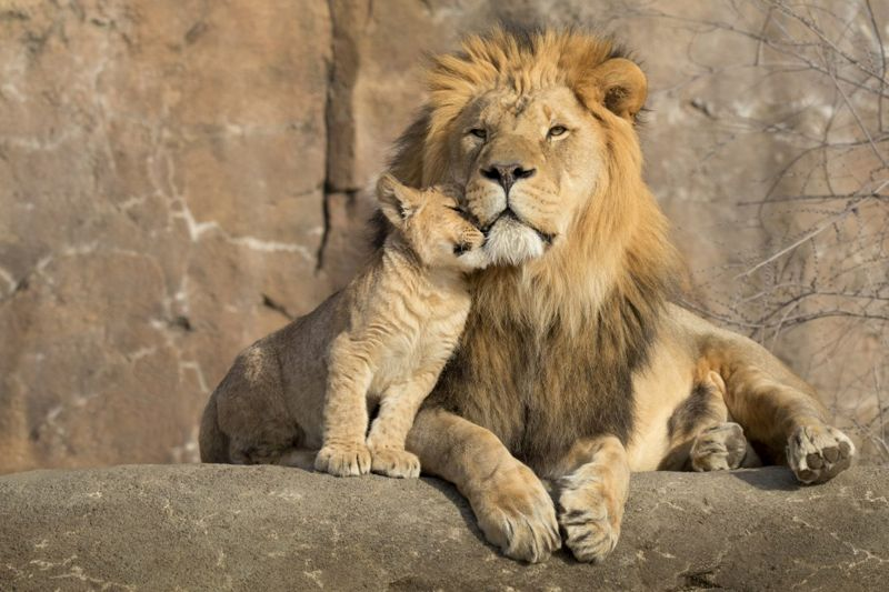 Lion father and cub caught at a cute moment.