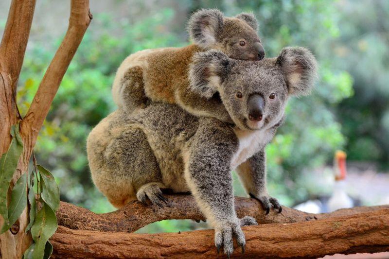 Mother and baby koalas on a eucalyptus tree.