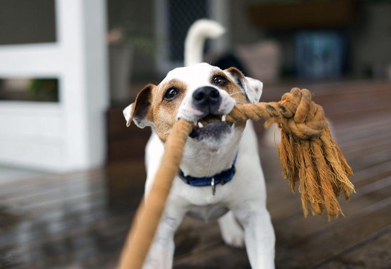 Dogs enjoy tugging