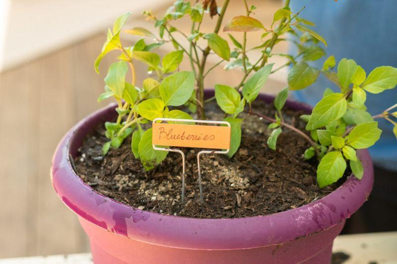 Grow well in pots