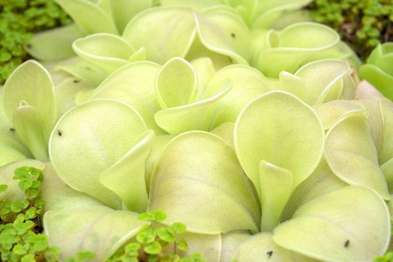 butterwort beautiful leaves