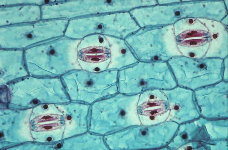 syringae toxins suppress plant immunity