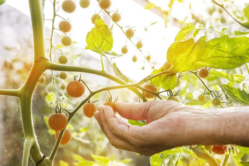greenhouse, tomatoes, hand, picking