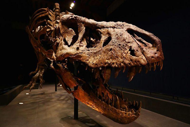 Tyrannosaurus fossils on display