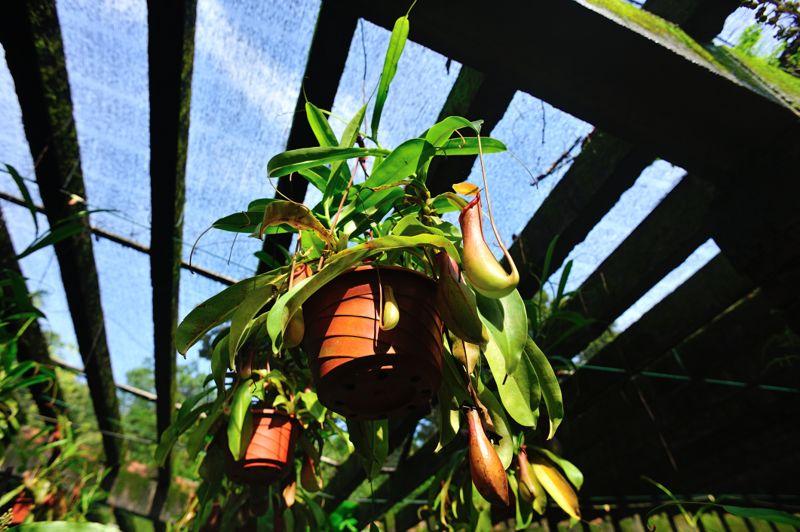 closeup of nepenthes villosa - pitcher plants