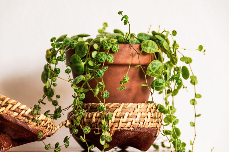 """Close-up on the dainty patterned leaves of """"string of turtles"""" (peperomia prostrata) trailing houseplant in rustic pot on white background."""