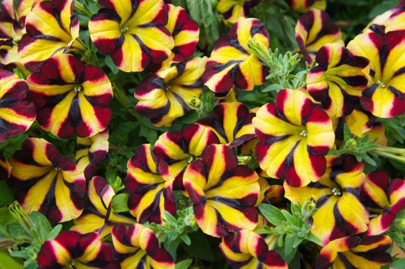 favorite color sticky stems petunias