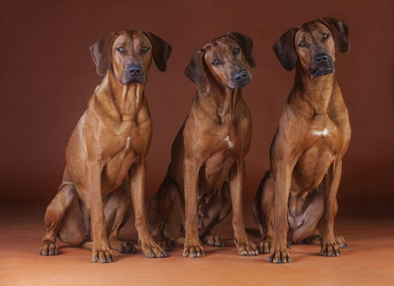 big male female powerful dogs