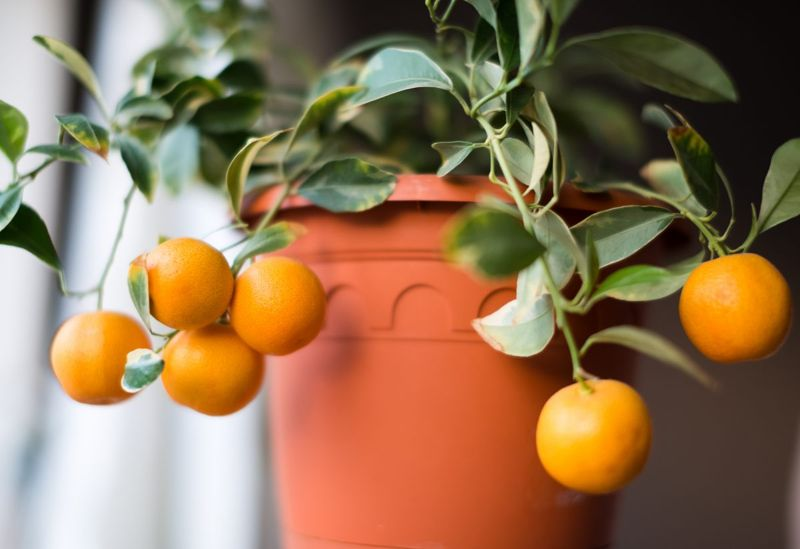 Calamondin miniature orange tree