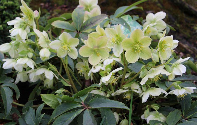 Lenten Rose Shade Sepals Evergreen