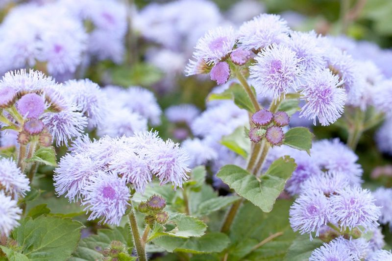 floss flower sunny areas ageratum