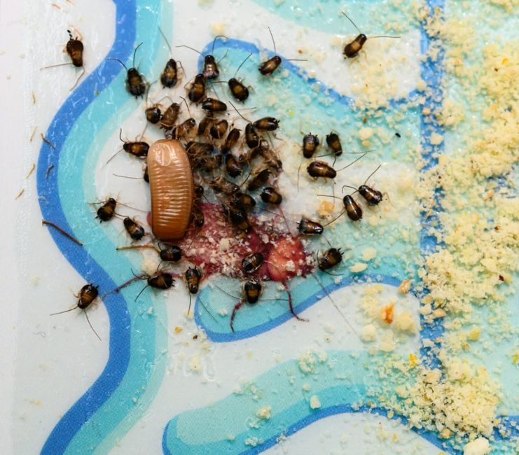 Roaches leave evidence behind