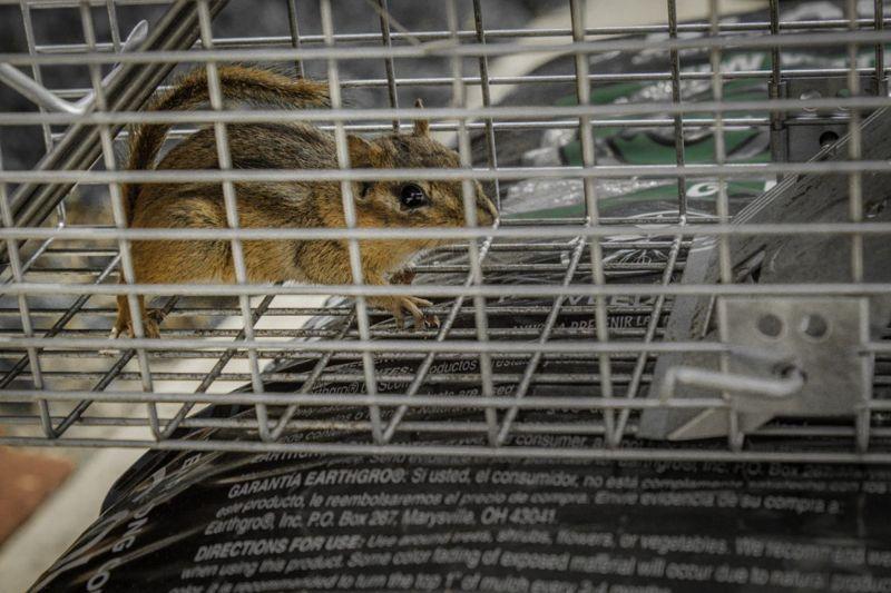 Capture chipmunks in humane traps