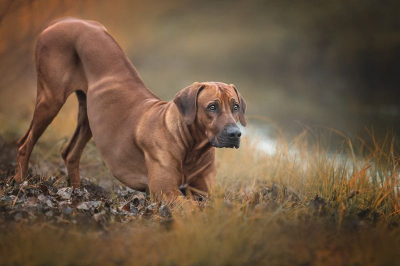 africa bred hunting lion hound
