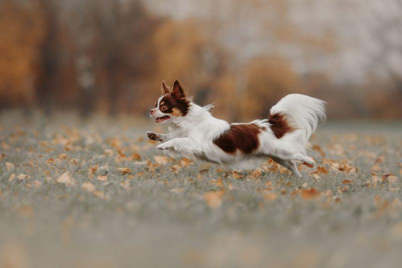life span healthy smaller chihuahua