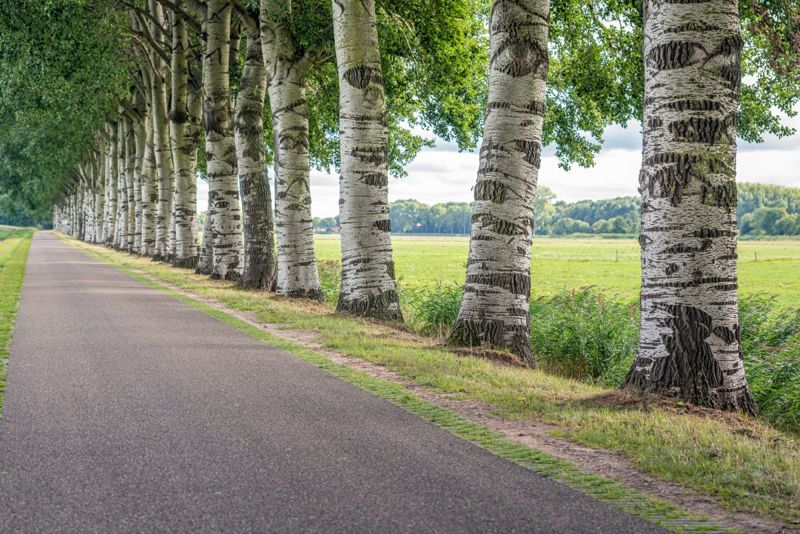 row poplar trees