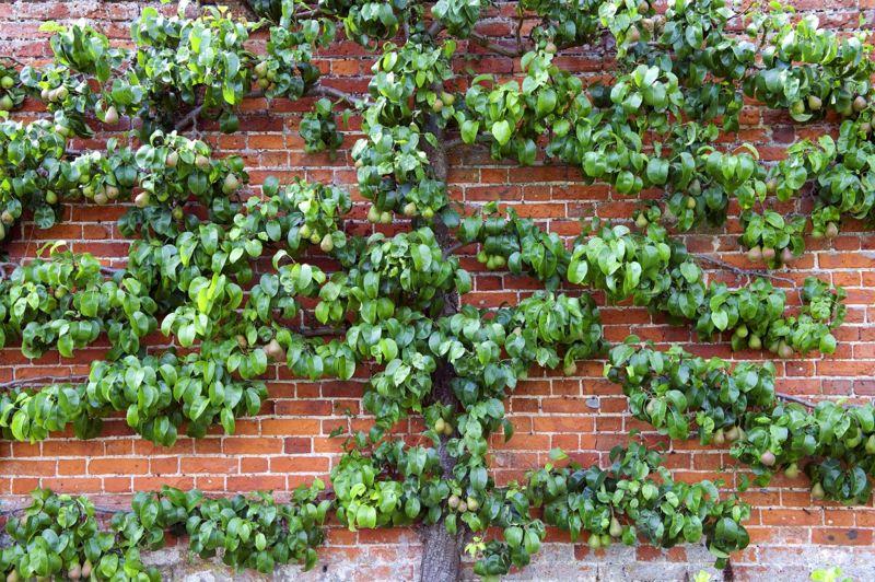 espaliered pear tree