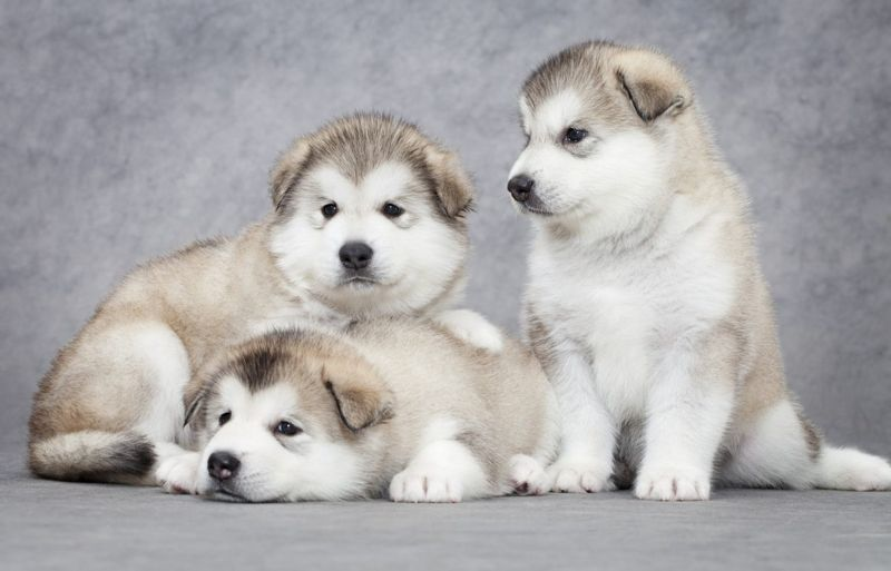 pack hierarchy alpha puppies