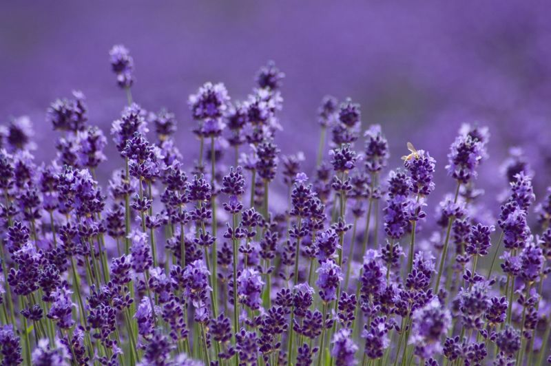 aroma flavor flower lavender