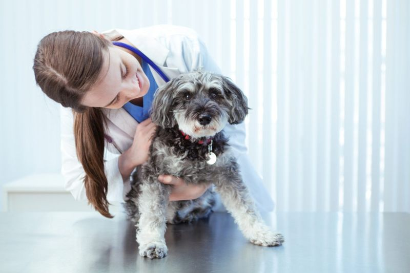 Poodles need regular veterinary care