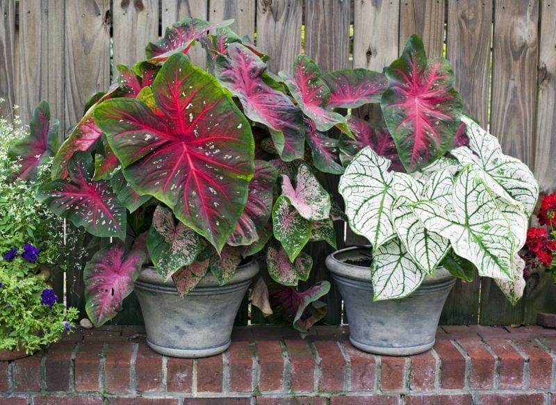 caladium plants pots garden