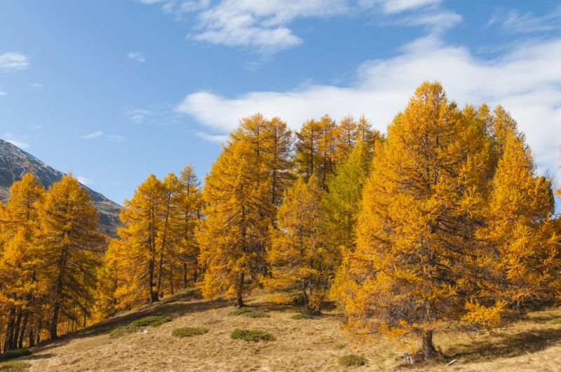 larch golden foliage