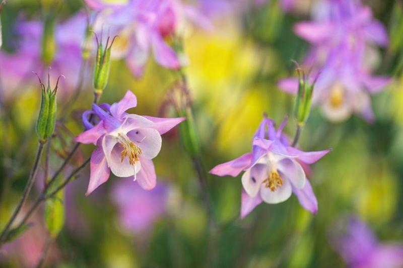 Columbine Perennial Long-Lived Adaptable