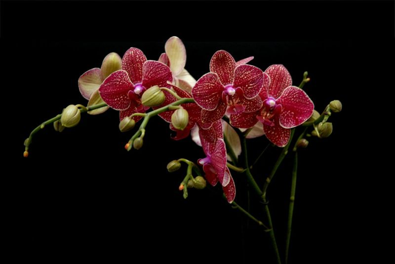 red moth butterfly orchids