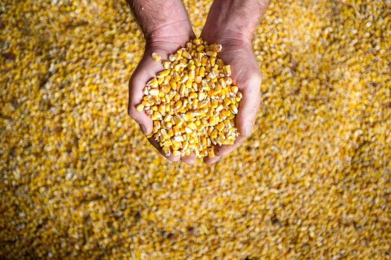 grain vegetable corn