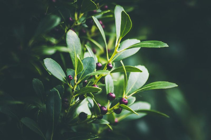 inkberry holly winterberry